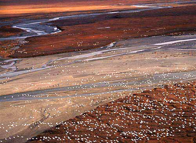 snow geese in anwr
